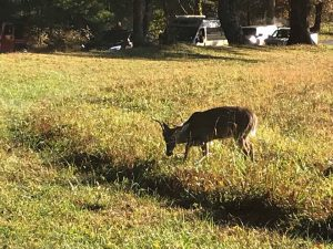 Cades Coveで鹿と遭遇