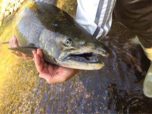ミシガン州で釣ったサーモン拡大写真